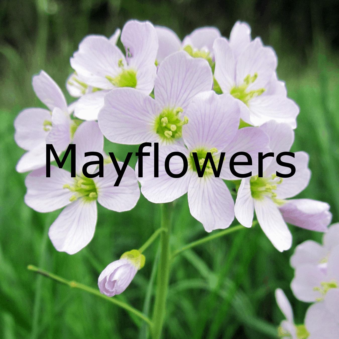 Mayflowers - ein Dank an den Frühling, in Gitarrenmusik verpackt